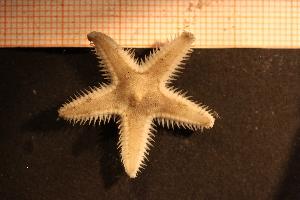 (Astropecten irregularis - Echin 6227V)  @11 [ ] CC-by-nc-sa (2014) Göteborg Natural History Museum Göteborg Natural History Museum