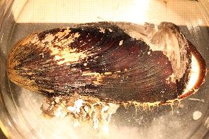 ( - MollOvr 8618V)  @11 [ ] CC-by-nc-sa (2014) Göteborg Natural History Museum Göteborg Natural History Museum