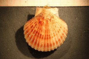 ( - MollOvr 8401V)  @11 [ ] CC-by-nc-sa (2014) Göteborg Natural History Museum Göteborg Natural History Museum