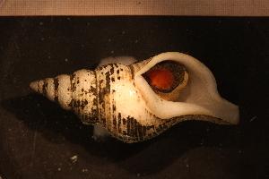 (Colus islandicus - Gastr 8460V)  @11 [ ] CC-by-nc-sa (2015) Göteborg Natural History Museum Göteborg Natural History Museum