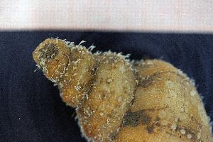 (Hydractiniidae - Hydrozoa 1555V)  @11 [ ] CC-by-nc-sa (2015) Göteborg Natural History Museum Göteborg Natural History Museum