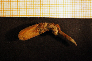 (Paraedwardsia - Anthozoa 1210V)  @11 [ ] CreativeCommons - Attribution Non-Commercial Share-Alike (2015) Göteborg Natural History Museum Göteborg Natural History Museum