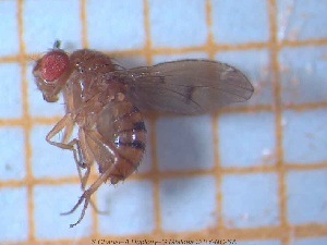 (Drosophila mediostriata - sc_00737)  @13 [ ] CreativeCommons - Attribution Non-Commercial Share-Alike (2014) Sylvain Charlat Laboratoire de Biométrie et Biologie évolutive, CNRS, Université Lyon 1