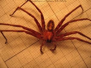 (Heteropoda nobilis - sc_01182)  @12 [ ] CreativeCommons – Attribution Non-Commercial Share-Alike (2014) Sylvain Charlat Laboratoire de Biométrie et Biologie évolutive, CNRS, Université Lyon 1