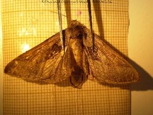 (Fautaua - sc_04541)  @11 [ ] by-nc-sa - Creative Commons - Attribution Non-Comm Share-Alike (2014) Sylvain Charlat Laboratoire de Biométrie et Biologie évolutive, CNRS, Université Lyon 1