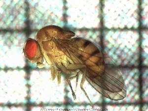(Drosophila mediostriata - sc_07744)  @13 [ ] CreativeCommons – Attribution Non-Commercial Share-Alike (2014) Sylvain Charlat Laboratoire de Biométrie et Biologie évolutive, CNRS, Université Lyon 1