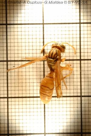 (Polistes olivaceus - sc_09863)  @13 [ ] by-nc-sa - Creative Commons - Attribution Non-Comm Share-Alike (2014) Sylvain Charlat Laboratoire de Biométrie et Biologie évolutive, CNRS, Université Lyon 1