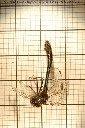 (Hemicordulia - sc_09870)  @11 [ ] CreativeCommons – Attribution Non-Commercial Share-Alike (2014) Sylvain Charlat Laboratoire de Biométrie et Biologie évolutive, CNRS, Université Lyon 1