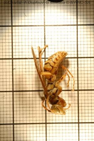 (Polistes olivaceus - sc_09883)  @13 [ ] CreativeCommons – Attribution Non-Commercial Share-Alike (2014) Sylvain Charlat Laboratoire de Biométrie et Biologie évolutive, CNRS, Université Lyon 1