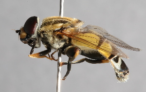( - CNC Diptera 224939)  @15 [ ] CC BY-NC-SA (2014) Jeffrey H. Skevington Agriculture and Agri-Food Canada
