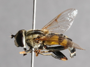 ( - CNC Diptera 227117)  @11 [ ] CC BY-NC-SA (2014) Jeffrey H. Skevington Agriculture and Agri-Food Canada