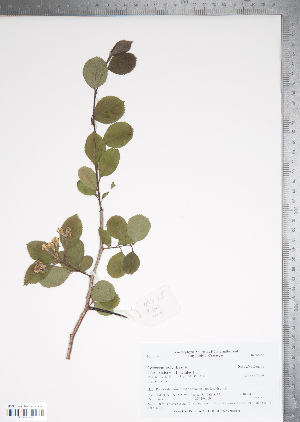 (Crataegus pubescens - TRT049)  @11 [ ] Copyright (2012) Tim Dickinson Royal Ontario Museum