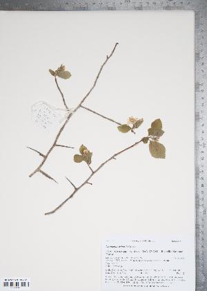 (Crataegus ashei - TRT066)  @11 [ ] Copyright (2011) Tim Dickinson Royal Ontario Museum