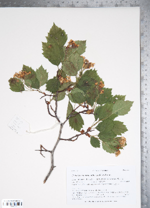 (Crataegus macracantha - TRT031)  @11 [ ] Copyright (2011) Tim Dickinson Royal Ontario Museum