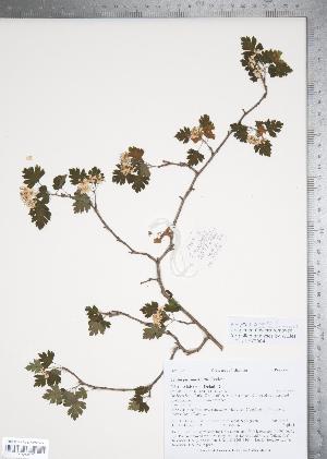 (Crataegus marshallii - TRT078)  @11 [ ] Copyright (2011) Tim Dickinson Royal Ontario Museum