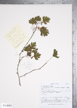 (Crataegus marshallii - TRT126)  @11 [ ] Copyright (2011) Tim Dickinson Royal Ontario Museum