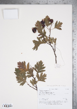 (Crataegus songarica - TRT028)  @11 [ ] Copyright (2012) Tim Dickinson Royal Ontario Museum