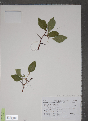 (Crataegus rivularis - TRT235)  @11 [ ] Copyright (2012) Tim Dickinson Royal Ontario Museum