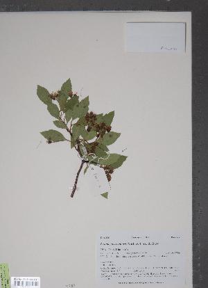 (Crataegus rivularis - TRT213)  @11 [ ] Copyright (2012) Tim Dickinson Royal Ontario Museum