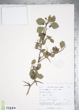 (Crataegus castlegarensis - TRT180)  @11 [ ] Copyright (2012) Tim Dickinson Royal Ontario Museum