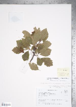 (Crataegus cupressocollina - TRT155)  @11 [ ] Copyright (2012) Tim Dickinson Royal Ontario Museum