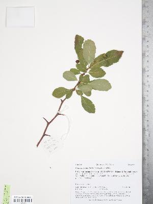 (Crataegus suksdorfii - TRT129)  @11 [ ] Copyright (2012) Tim Dickinson Royal Ontario Museum