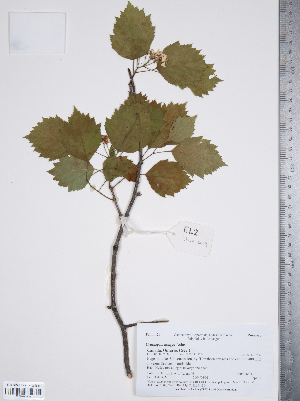 (Crataegus dodgei - TRT183)  @11 [ ] Copyright (2012) Tim Dickinson Royal Ontario Museum
