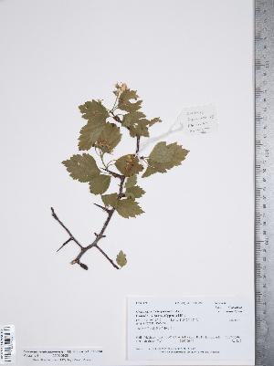 (Crataegus rivuloadamensis - TRT168)  @11 [ ] Copyright (2012) Tim Dickinson Royal Ontario Museum