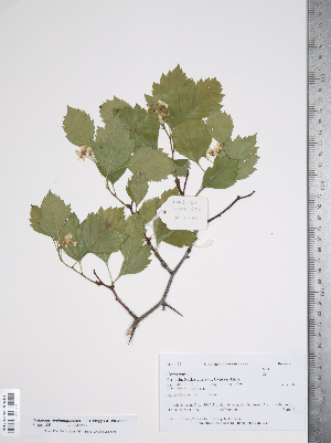 (Crataegus rivulopugnensis - TRT154)  @11 [ ] Copyright (2012) Tim Dickinson Royal Ontario Museum