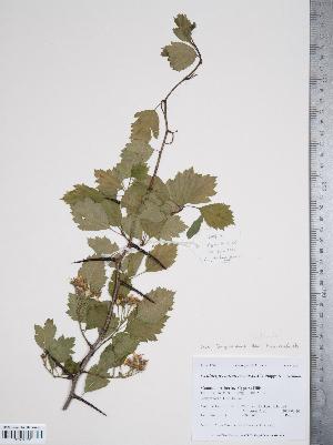 (Crataegus aquacervensis - TRT161)  @11 [ ] Copyright (2012) Tim Dickinson Royal Ontario Museum