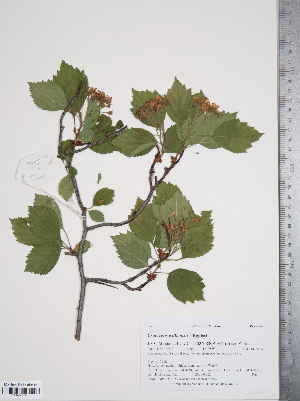 (Crataegus williamsii - TRT034)  @11 [ ] Copyright (2011) Tim Dickinson Royal Ontario Museum