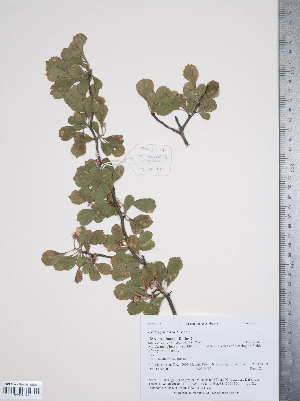 (Crataegus lassa - TRT027)  @11 [ ] Copyright (2011) Tim Dickinson Royal Ontario Museum