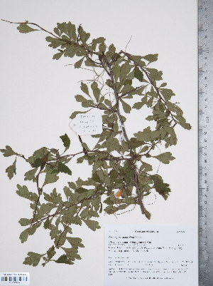 (Crataegus spathulata - TRT059)  @11 [ ] Copyright (2011) Tim Dickinson Royal Ontario Museum