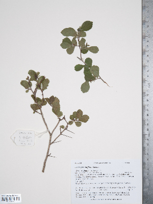 (Crataegus uniflora - TRT186)  @11 [ ] Copyright (2011) Tim Dickinson Royal Ontario Museum