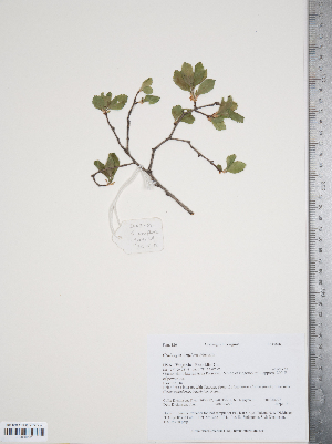 (Crataegus uniflora - TRT189)  @11 [ ] Copyright (2012) Tim Dickinson Royal Ontario Museum