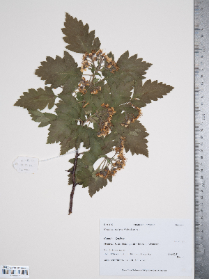 (Crataegus nigra - TRT025)  @11 [ ] Copyright (2012) Tim Dickinson Royal Ontario Museum