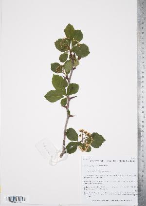 (Crataegus gaylussacia - TRT239)  @11 [ ] Copyright (2012) Tim Dickinson Royal Ontario Museum