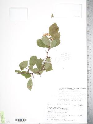 (Crataegus castlegarensis - TRT156)  @11 [ ] Copyright (2012) Tim Dickinson Royal Ontario Museum