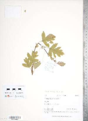 (Crataegus nigra - TRT036)  @11 [ ] Copyright (2012) Tim Dickinson Royal Ontario Museum