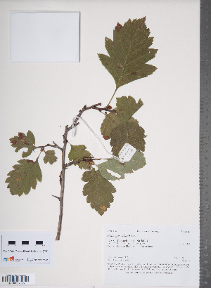 (Crataegus wilsonii - TRT114)  @11 [ ] Copyright (2012) Tim Dickinson Royal Ontario Museum