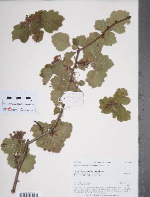 (Crataegus dahurica - TRT029)  @11 [ ] Copyright (2012) Tim Dickinson Royal Ontario Museum