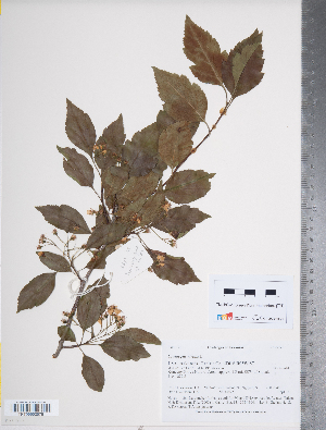 (Crataegus viridis - TRT130)  @11 [ ] Copyright (2012) Tim Dickinson Royal Ontario Museum