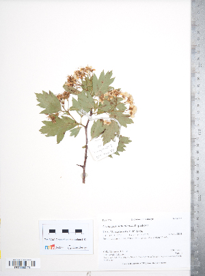 (Crataegus almaatensis - TRT118)  @11 [ ] Copyright (2012) Tim Dickinson Royal Ontario Museum