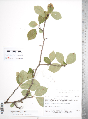 (Crataegus okennonii - TRT169)  @11 [ ] Copyright (2012) Tim Dickinson Royal Ontario Museum