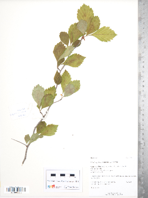 (Crataegus monogyna x punctata - TRT203)  @11 [ ] Copyright (2012) Tim Dickinson Royal Ontario Museum
