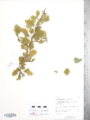 (Crataegus monogyna x punctata - TRT204)  @11 [ ] Copyright (2012) Tim Dickinson Royal Ontario Museum