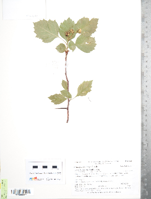 (Crataegus erythropoda - TRT241)  @11 [ ] Copyright (2012) Tim Dickinson Royal Ontario Museum