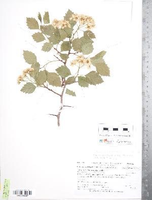 (Crataegus erythropoda - TRT242)  @11 [ ] Copyright (2012) Tim Dickinson Royal Ontario Museum