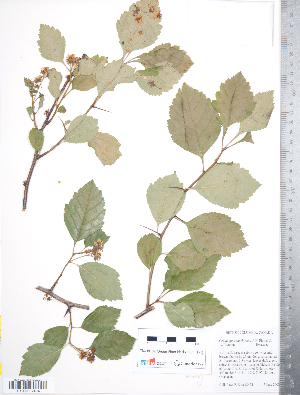 (Crataegus enderbyensis - TRT153)  @11 [ ] Copyright (2012) Tim Dickinson Royal Ontario Museum