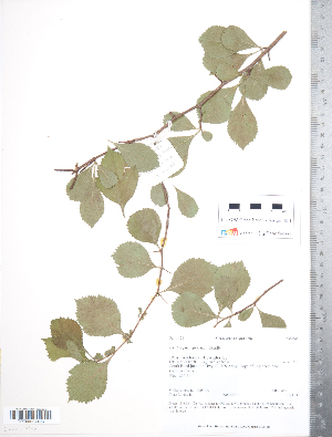(Crataegus agrestina - TRT021)  @11 [ ] Copyright (2012) Tim Dickinson Royal Ontario Museum